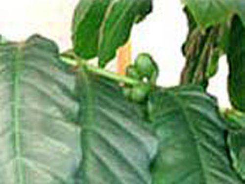 コーヒーの木の成長記録・10月頃