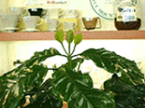 コーヒーの木の成長記録・双葉