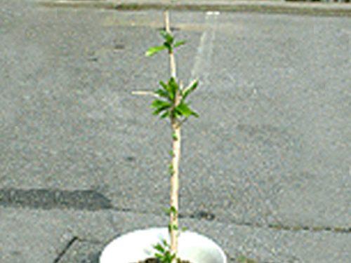 コーヒーの木の成長記録・6月新葉