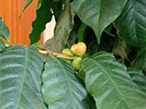 コーヒーの木の成長記録・12月頃