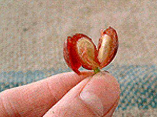 コーヒーの木の成長記録・パーチメント